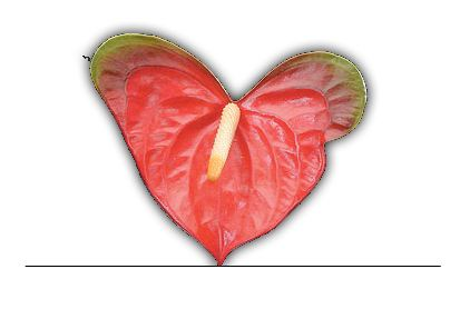 Anthuriums - Obakes