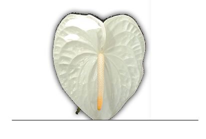 Anthuriums - White